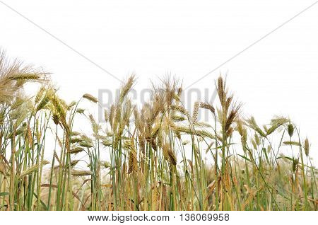 cob ribe barley field isolated on white background