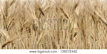 close on cob ripe barley in a field