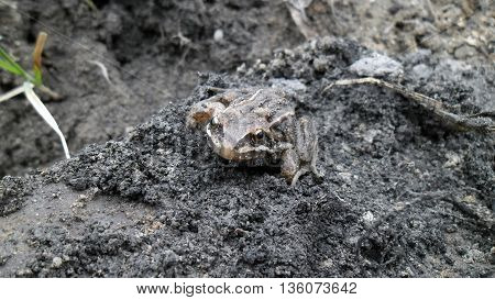 Frog in the mud after the rain