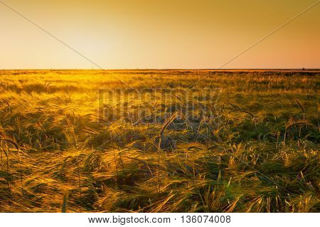 Evening yellow wheat field on the sunset orange sky background. Idea of a rich harvest
