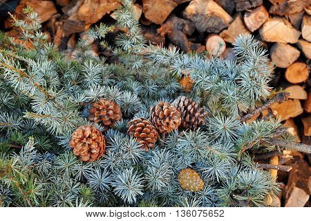 Conifers branch with cones on the wood background