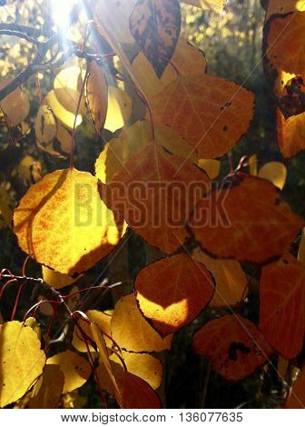Sunlight shining through aspen leaves in fall