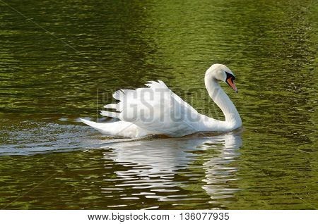 Swan is a very beautiful bird.She slowly and gracefully floating in the lake.