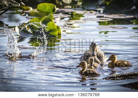 Adult female mallard duck with ducklings floating and splashing in water