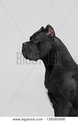 The portrait of Italian cane-corso dog in the park