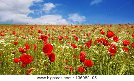 Red poppies against the blue sky.Poppies on green field.