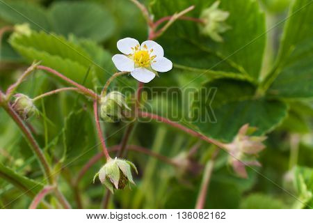 flowers of strawberry in the garden closeup