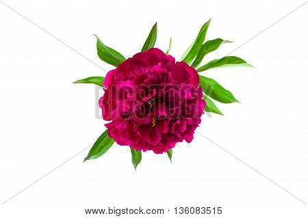 Burgundy purple peony flower with green leaves isolated on white background
