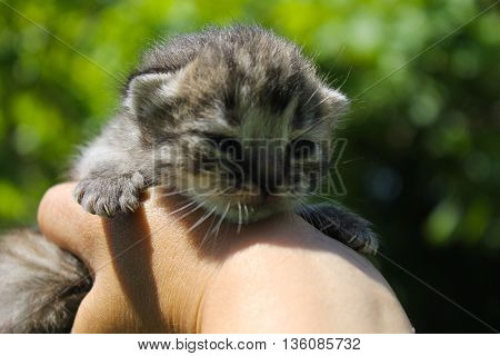 Striped grey newborn kitten in human hand