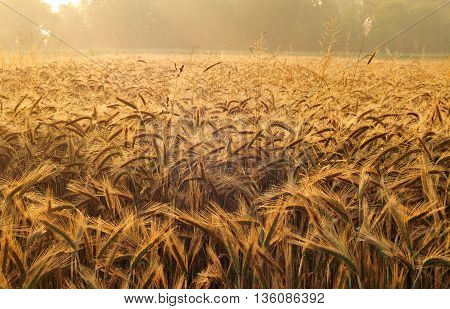 Field of barley lit by early morning light