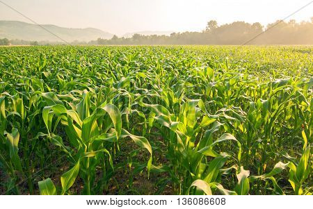 Field of corn in early morning light