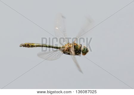 Downy Emerald dragonfly (Cordulia aenea) in flight.