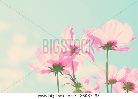 Smmer field with pink fresh cosmos flowers, retro toned