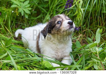 Little puppy sitting in tall grass and lupine flowers