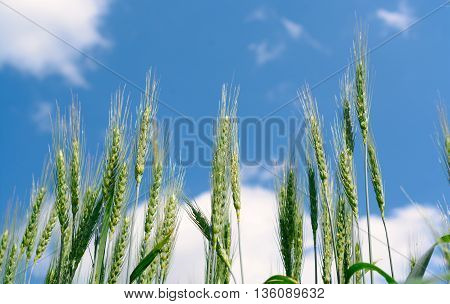 Ears Of Rye Against The Sky