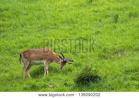 Male Red deer with new horn standing next to small bush of pine tree during summer in Austria, Europe