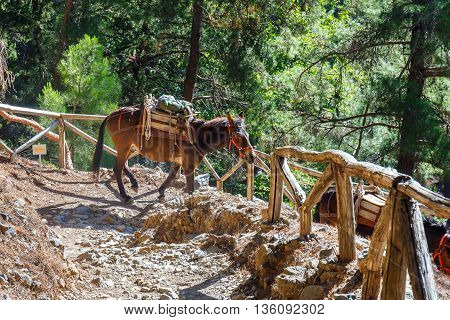 Samaria Gorge Greece - MAY 26 2016: horses led by a guide are used to transport tired tourists in Samaria Gorge in central Crete Greece. The national park is a UNESCO Biosphere Reserve since 1981