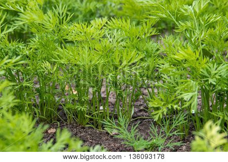 young green tops of carrots in summer