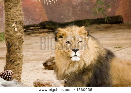 Lion Looking