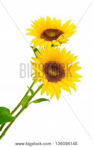 perfect agriculture sunflowers on a white background