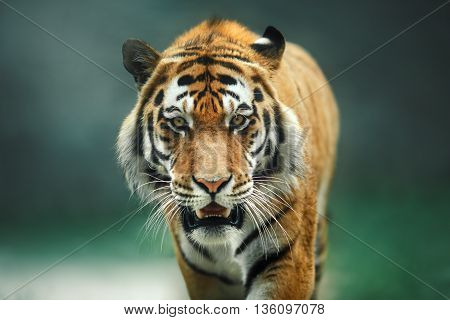 wild cat big red tiger on nature