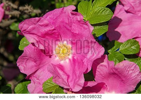 Beautiful pink flowers of wild rose bush in the summer. Russia.