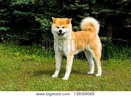 The Japanese Akita Inu looks. The Japanese Akita Inu is in the park.