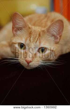 Orange Cat Looking At The Camera