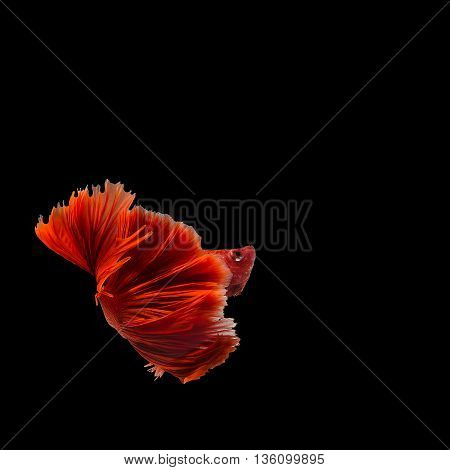 siamese fighting fish red are reversed from Thailand.