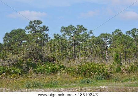 Tall Pines in Nature Preserve in Florida