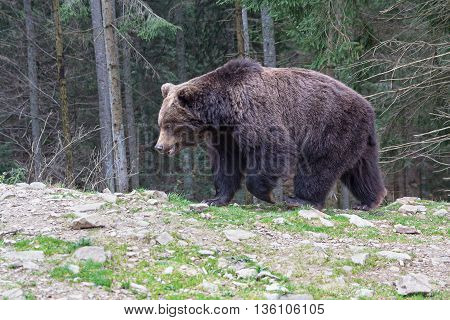 Brown bear walking along the forest. Animals