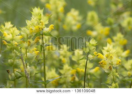 Group of Greater Yellow Rattle (Rhinanthus angustifolius) flowering in a field