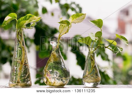 Drop of water on Golden Pothos or Devil's Ivy in the bottle.