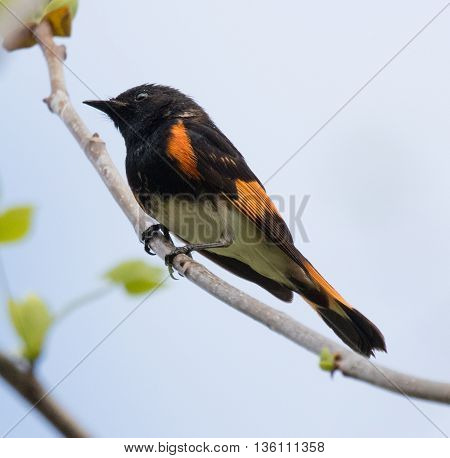 American Redstart (Setophaga ruticilla) perched on a branch in early spring