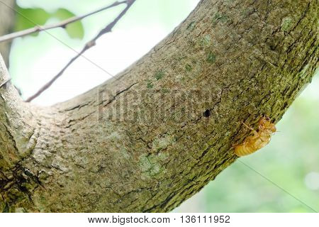 Cicada shell over dry lichen on tree