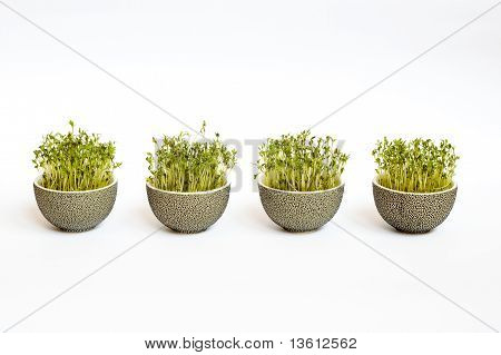 Four easter flowerpots with sprouted corn