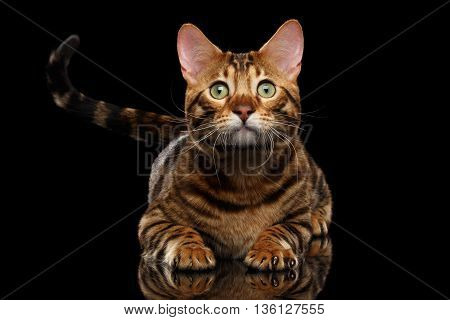 Close-up Portrait of Cute Bengal Male Cat with Green eyes Lying, looks with hope on Isolated Black Background, Front view, wait shaking tail, show claw