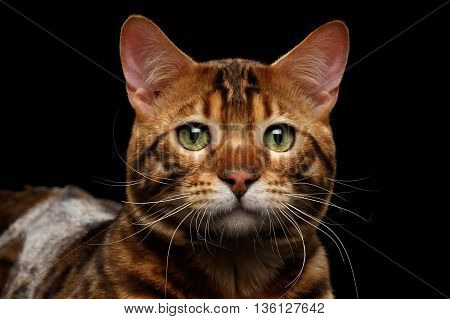 Close-up Portrait of Sad Bengal Male Cat with Green eyes looks with hope on Isolated Black Background, Front view, Adorable wild breed
