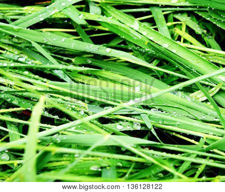 the grass is green, the dew on the grass, summer, plants, nature, macro, dew drops