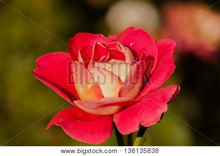 Roses on green blurred background with red petals. Blooming pink rose in the garden.