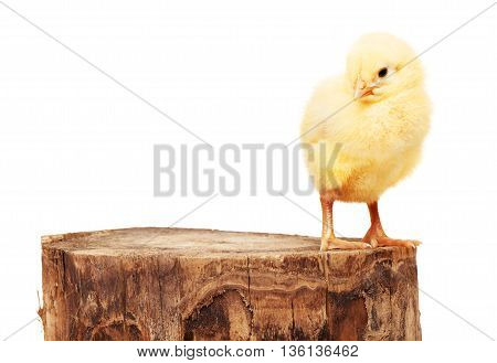Small Yellow Chicken Standing On Wooden Stump