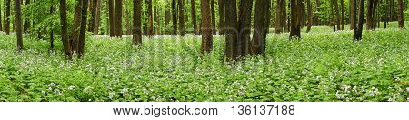 Flowers on forest floor in panorama at day.