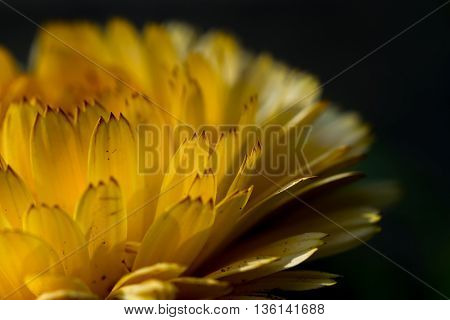 Macro detail of a yellow flower petals