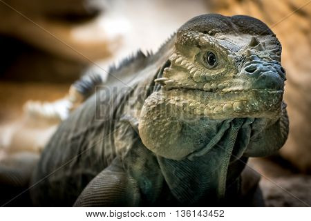 Rhinoceros Iguana Or Goliath Dragons (cyclura Cornuta)