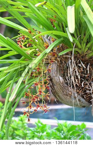 Cymbidium aloifolium, Beautiful orchid flower in thailand