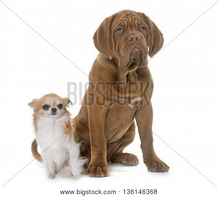 puppy Bordeaux mastiff and chihuahua in front of white background