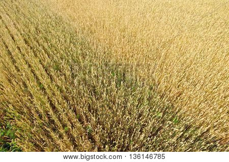 wheat field on the background cornfield Ukraine