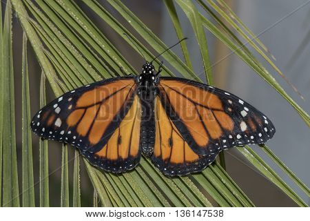 Monarch butterfly on a plant, close up