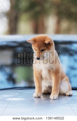 beautiful shiba inu dog on a car in outdoor
