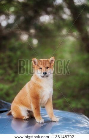 beautiful shiba inu dog on a car in outdoor